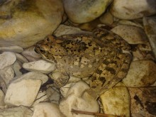 Rana italica, anfibio endemico - Rio Vitoschio
